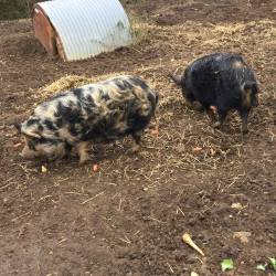 Abigail & Arthur the Pigs